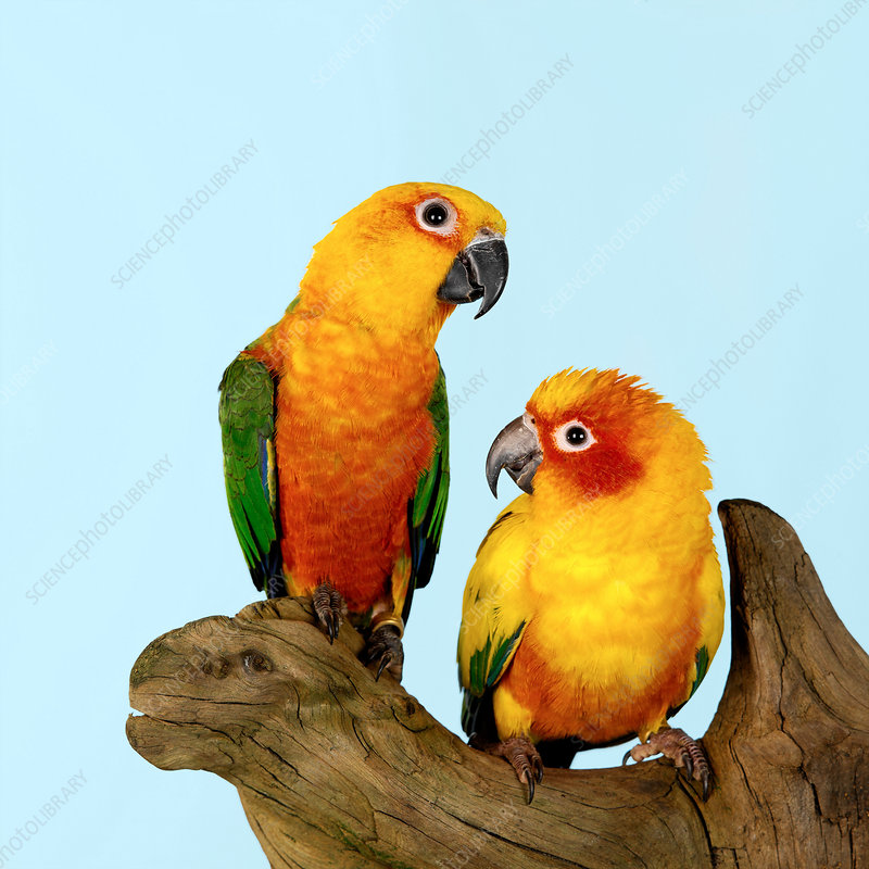 Sun Conure on tree stump