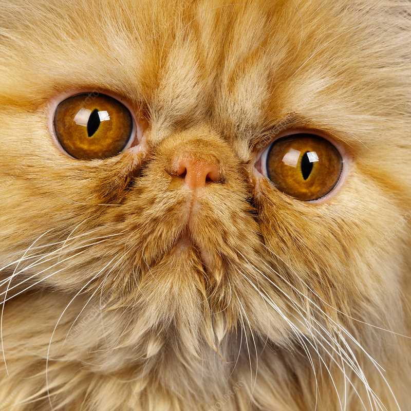 Close up of Red Persian kitten