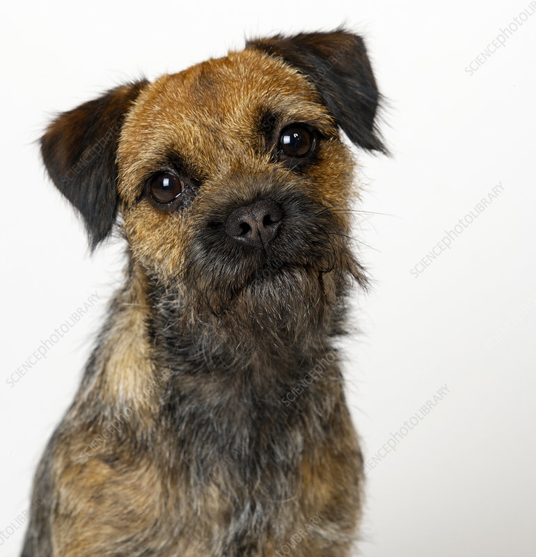 Portrait of Bearded Terrier
