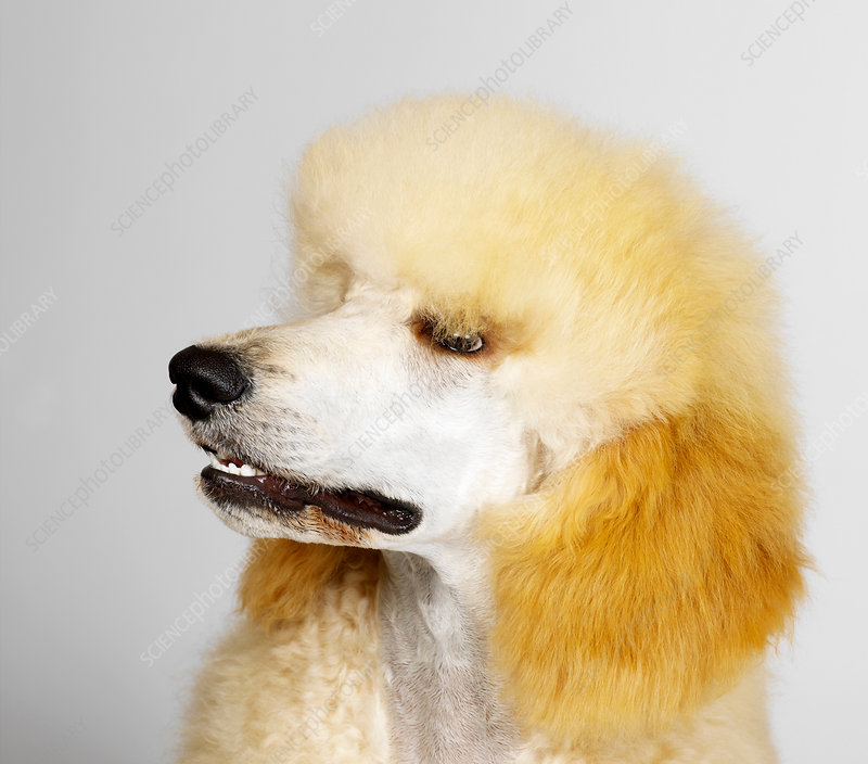 Close up of Standard Poodle