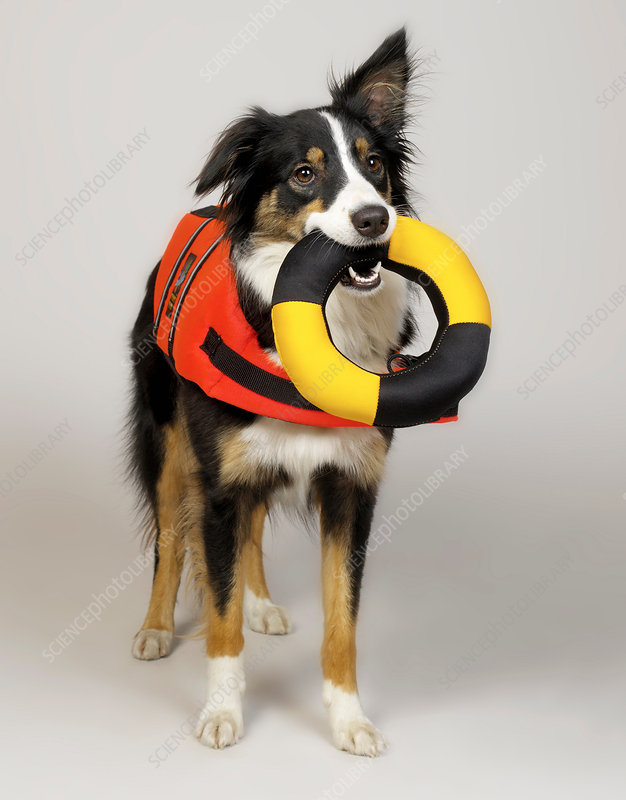 Border Collie with lifebuoy in mouth