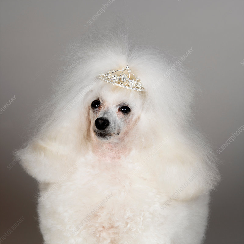 White Toy Poodle wearing tiara