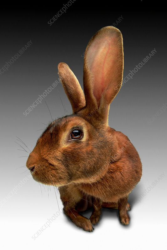 Enlarged view of lop eared rabbit