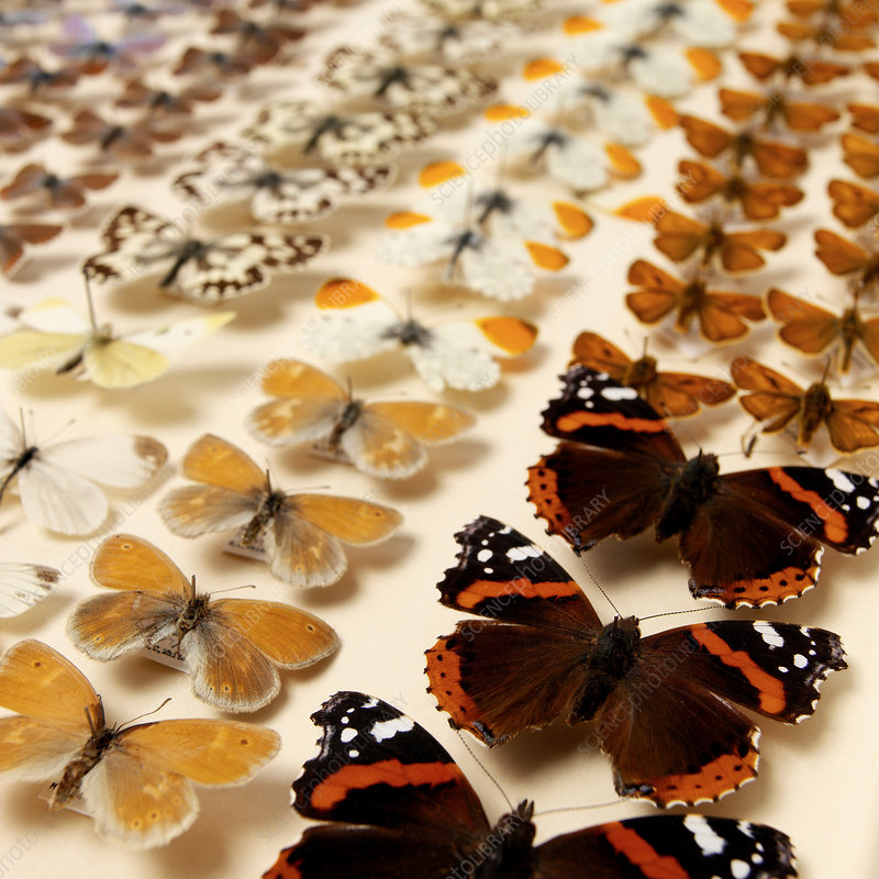Collection of butterflies