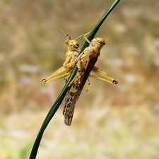 Desert Locusts on twig