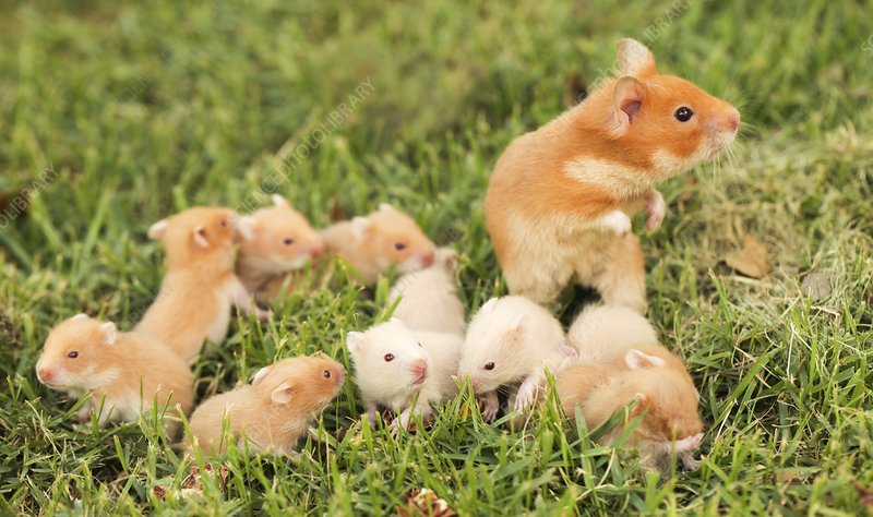Golden hamster with young