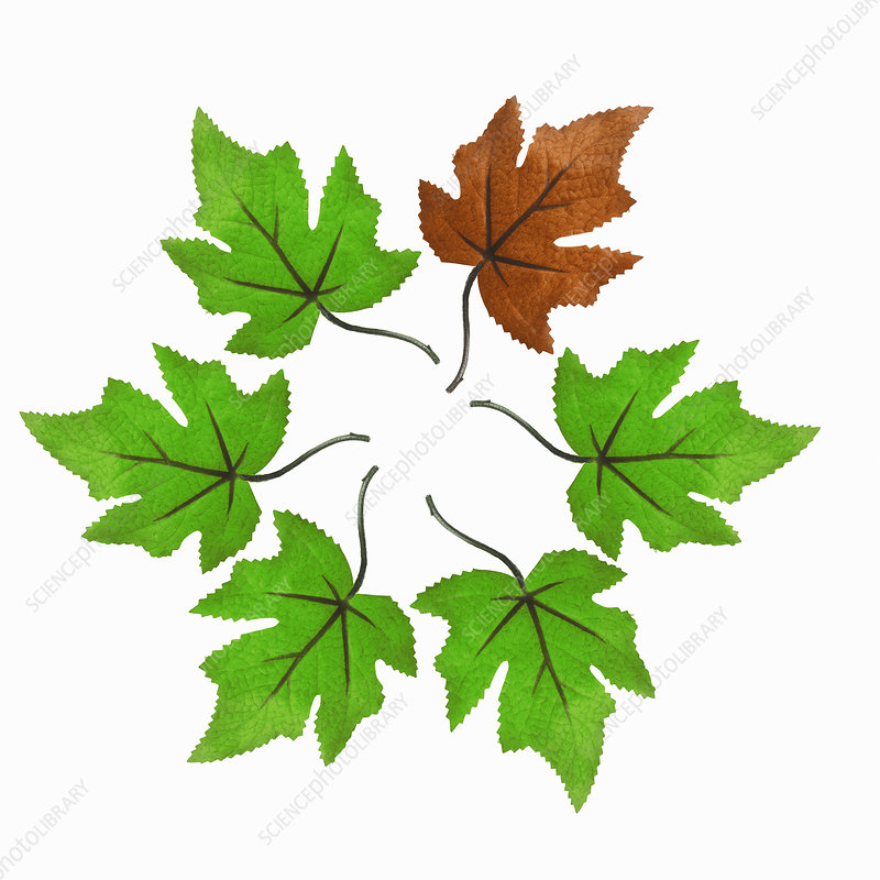 maple leaves in a circle