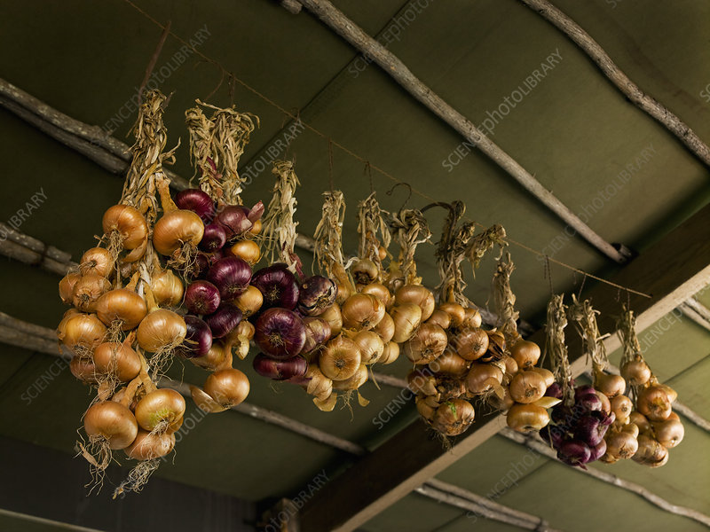Onions hanging from the ceiling
