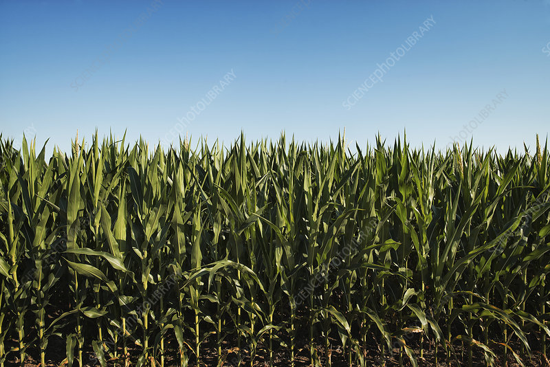 A field of tall maize plants