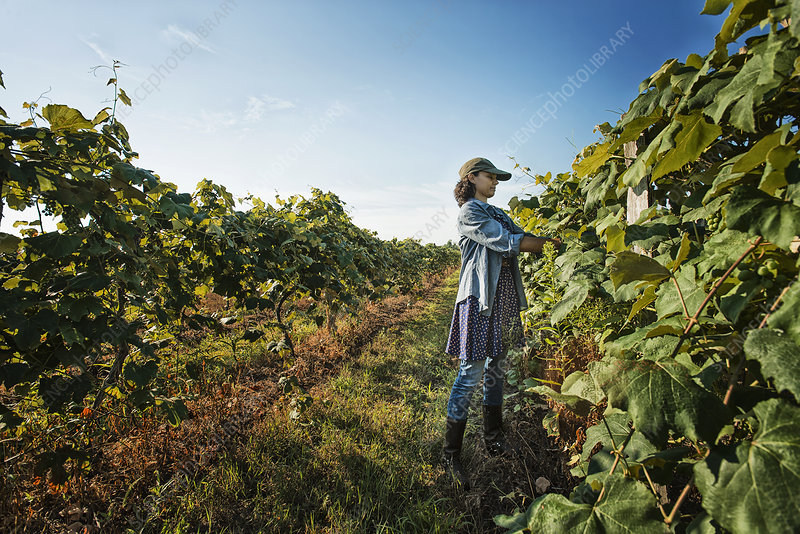 A woman tending growing grape vines
