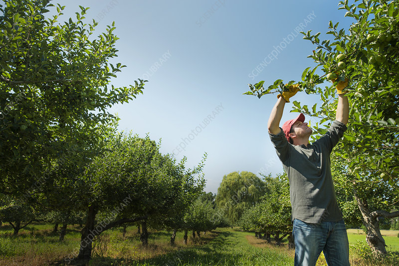 A man picking apples