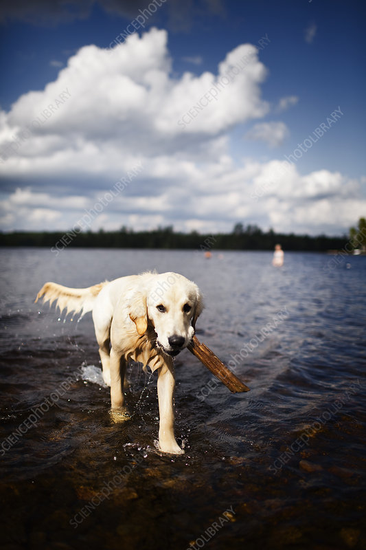Wet dog carrying a stick