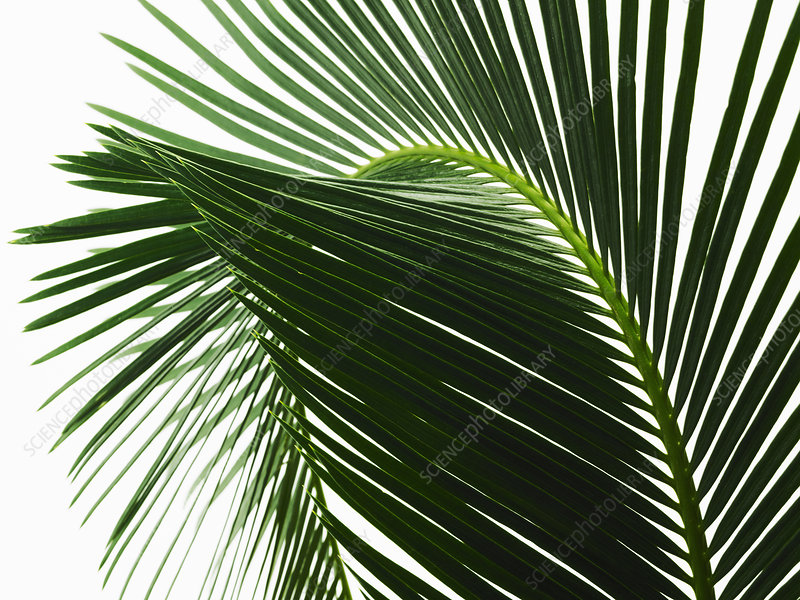 A glossy green palm leaf