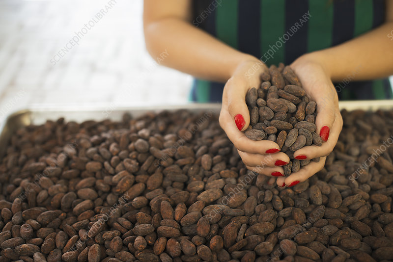 Handfuls of organic cacao beans