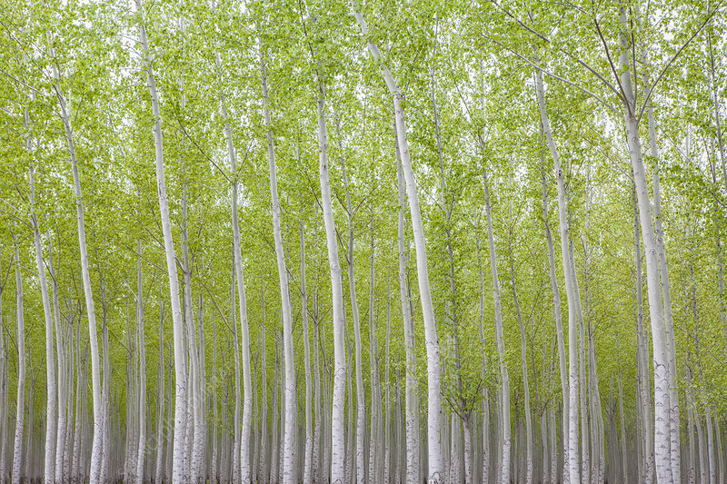 Poplar Tree Plantation