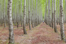 Man standing in Poplar tree forest