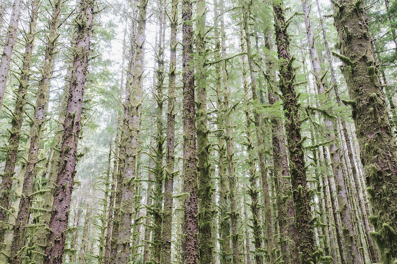 Sitka Spruce and Western Hemlock trees