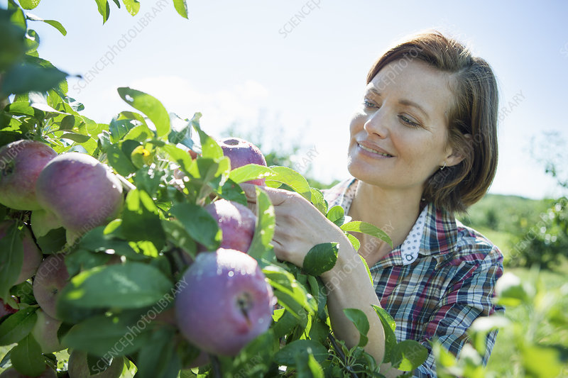 A woman picking apples in an orchard