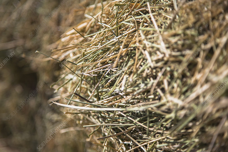 Hay, dried grasses