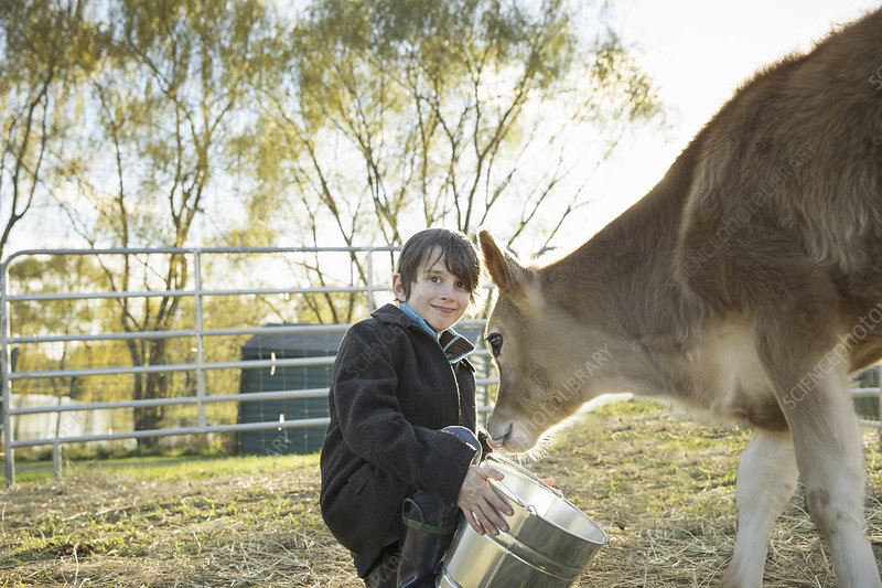 A young boy feeding a calf by bucket