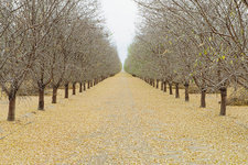 Rows of pistachio trees in California