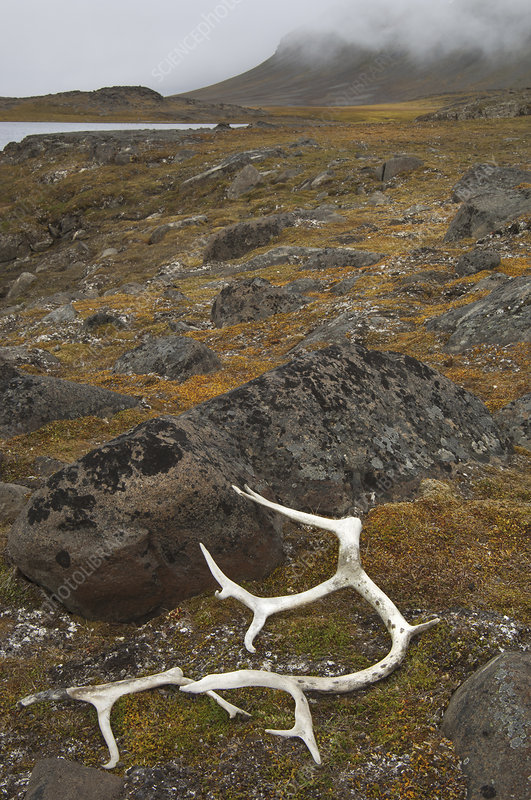 Antlers on moss covered rocks