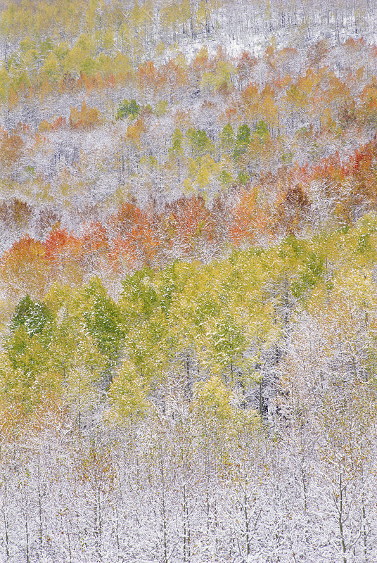 Quaking aspen trees in autumn with snow