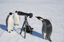 Penguin looking in camera view finder