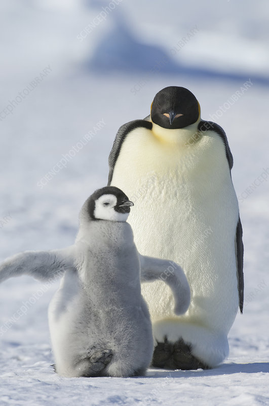 Emperor penguin and small chick