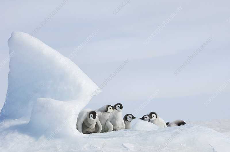 A nursery group of young penguin chicks