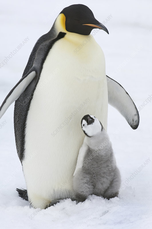 An Emperor penguin with a small chick