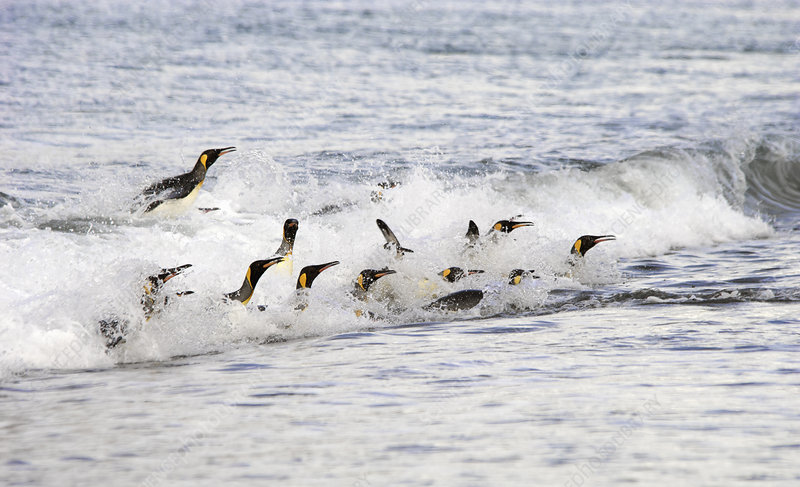 A group of King penguins surfing