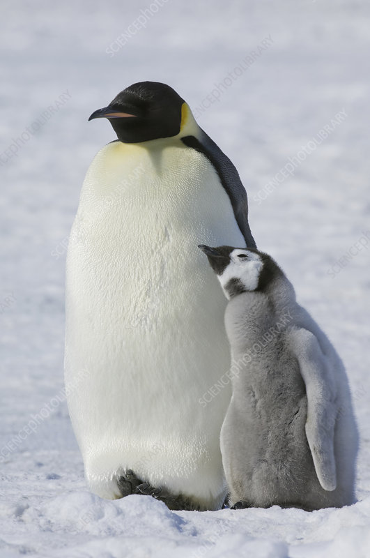 Two Emperor penguins, bird and a chick