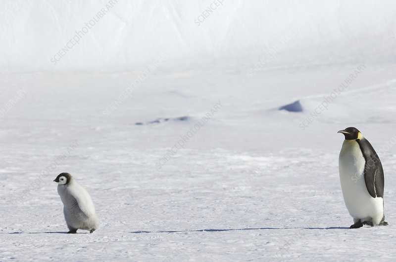 An adult Emperor penguin minding a chick