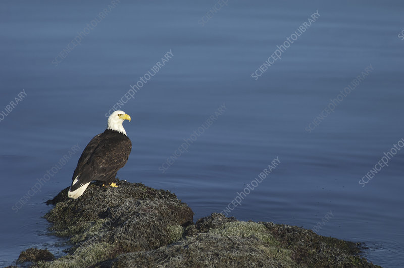 The American Bald Eagle bird