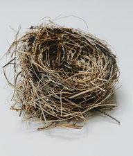 Birds nest, close up