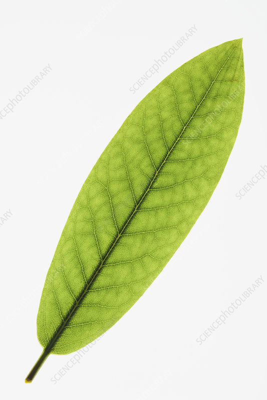 Rhododendron leaf on white background