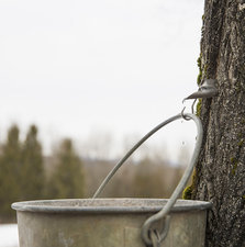 A pail on a maple tree to catch the sap.