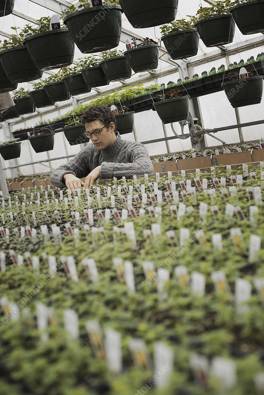 A man checking rows of seedlings