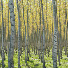Commercially grown poplar trees on farm
