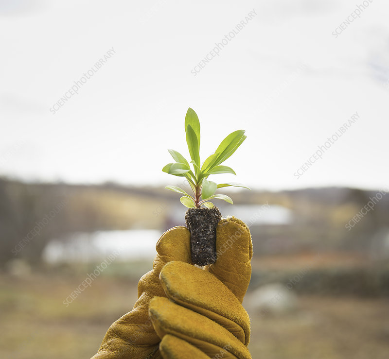 A gloved hand holding a seedling