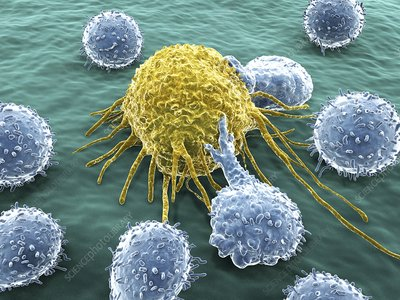 Lymphocytes and cancer cell