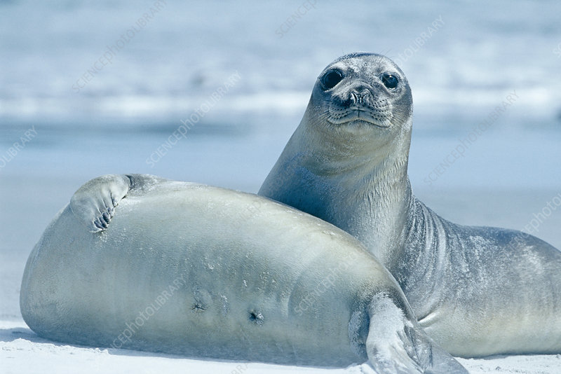 Two Southern Elephant seals