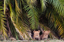 African lion cubs, Botswana
