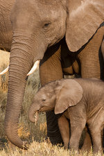 African elephant and calf, Botswana