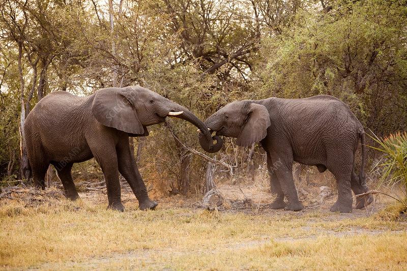 African elephants, Chobe, Botswana