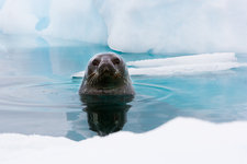 Weddell seal looking up out of the water