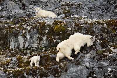 Mountain goats and kid, Alaska, USA