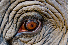 Elephant eye, Bandhavgarh, India