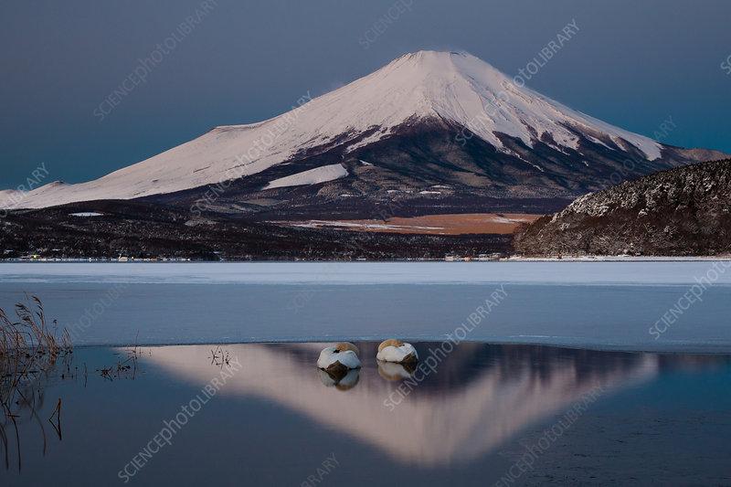 A pair of mute swans in Lake Kawaguchi